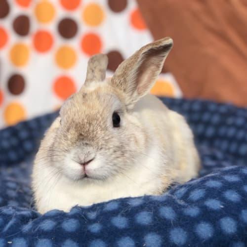Latte  - Netherland Dwarf Rabbit