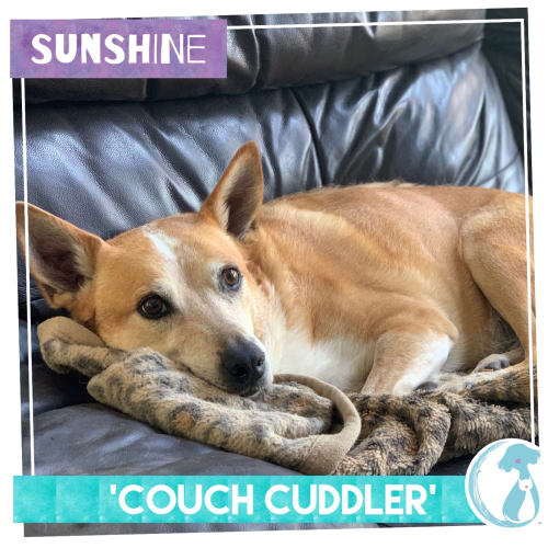 Sunshine - Kelpie Dog