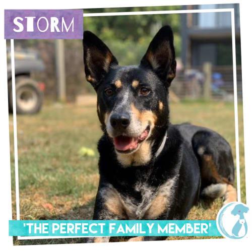 Storm - Kelpie Dog