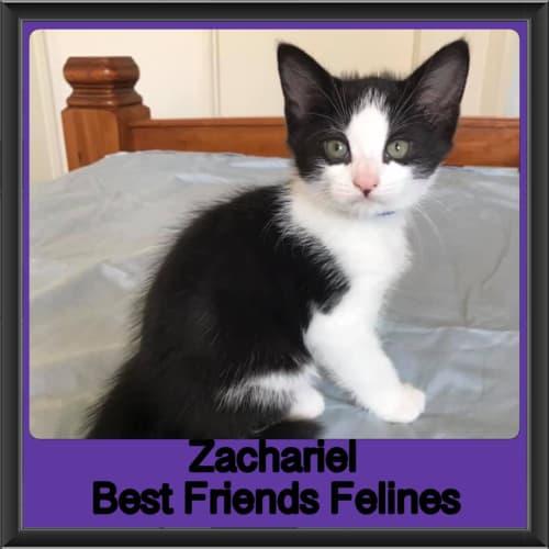 Zachariel  - Domestic Medium Hair Cat