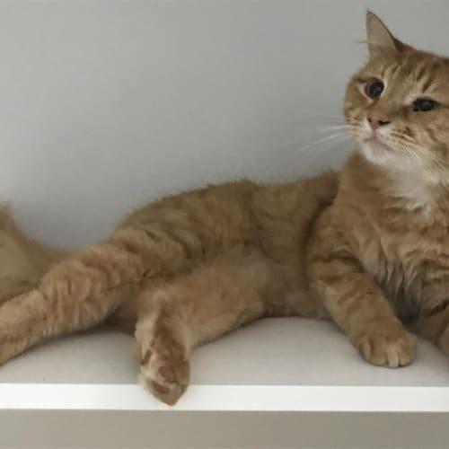 Eugene - Domestic Medium Hair Cat