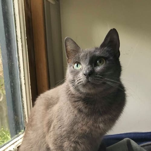 Lilac (Located in Caulfield North) - Domestic Short Hair Cat