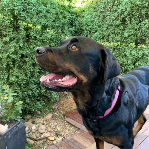 Nina - Rottweiler Dog