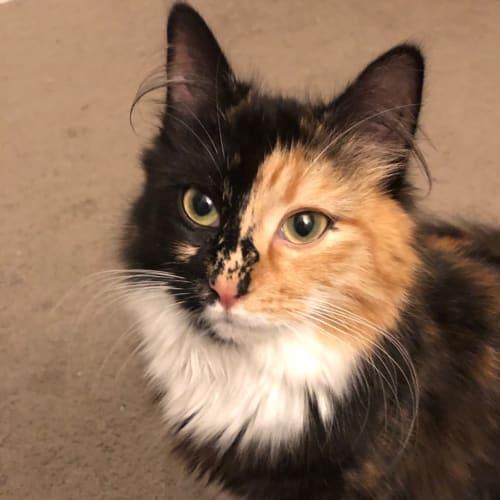 Sophia (Located in Beaumaris) - Domestic Long Hair Cat