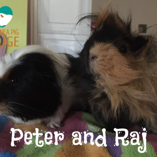 Peter and Raj - Abyssinian x Crested Guinea Pig