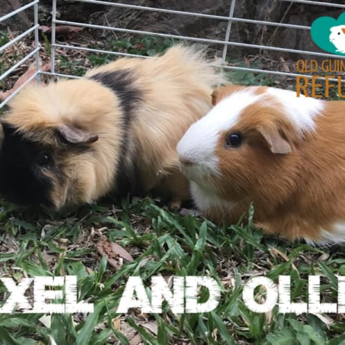 Axel and Ollie - Abyssinian x Smooth Hair Guinea Pig