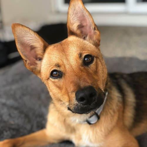 Frankie - Kelpie x German Shepherd Dog