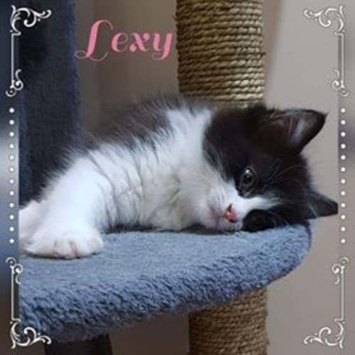 Lexy - Domestic Medium Hair Cat