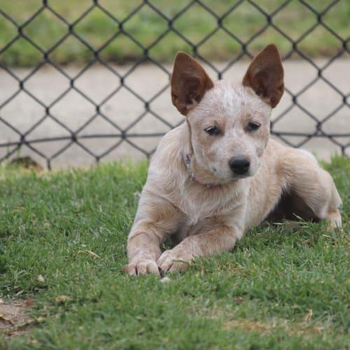 daisy - Red Heeler Dog