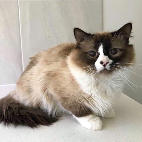 Valentino - Ragdoll Cat