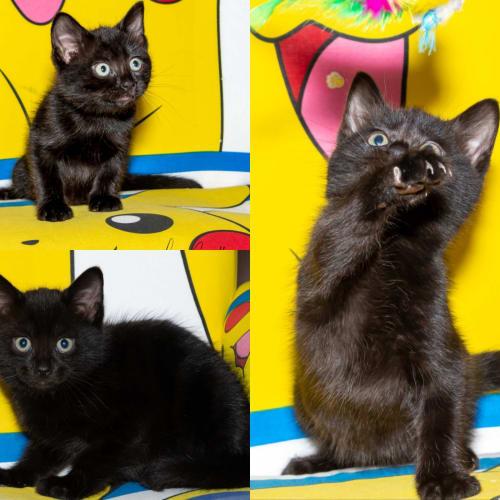 1823- Arlo - Domestic Short Hair Cat