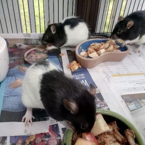 Tom - Rat