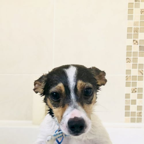 Domino - Jack Russell Terrier Dog