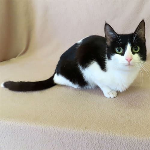 Minnie - Domestic Short Hair Cat