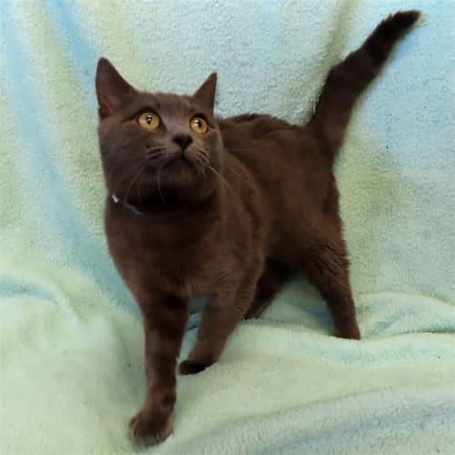 Tex - Domestic Short Hair Cat