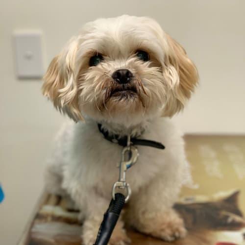 Ralph - Maltese x Shih Tzu Dog
