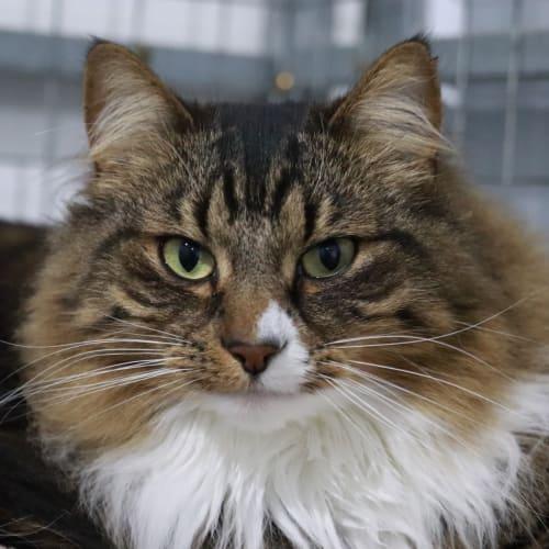 Gypsy (with Janine) - Domestic Medium Hair Cat