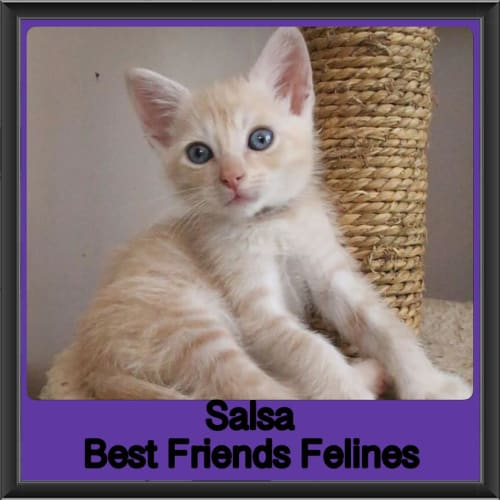 Salsa  - Domestic Short Hair Cat