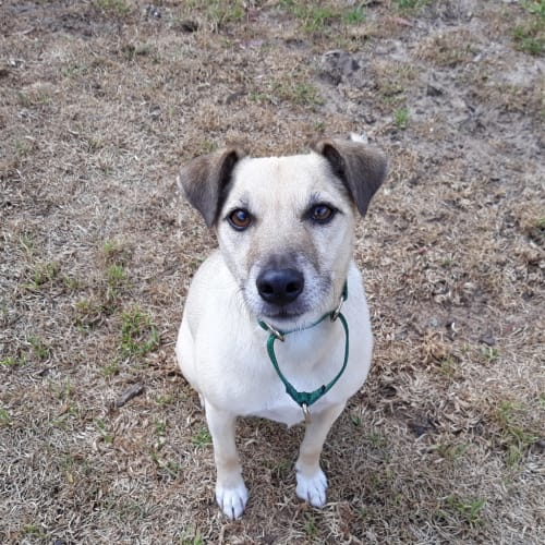 Mongo - Jack Russell Terrier Dog