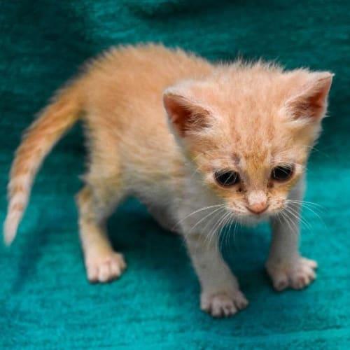 Draco Malfow - Domestic Short Hair Cat