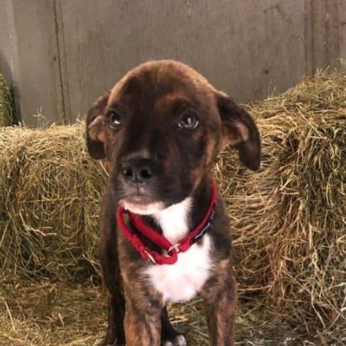 Lamington - American Staffordshire Bull Terrier Dog