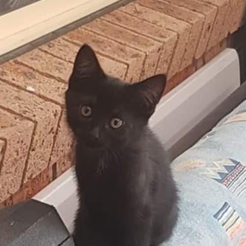 LB - Domestic Short Hair Cat