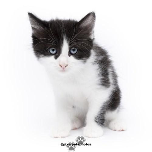 River - Domestic Medium Hair Cat