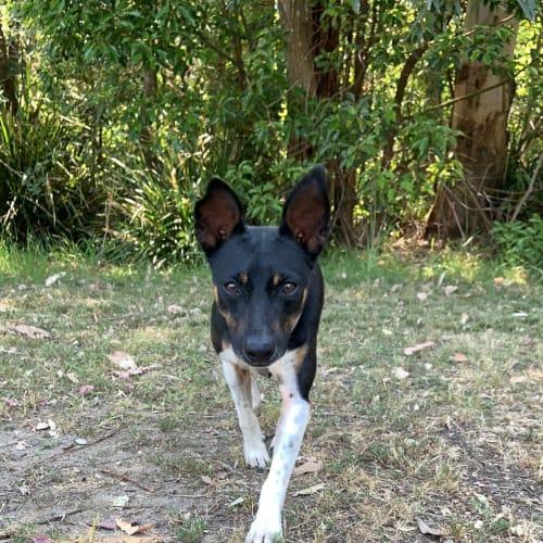 Kipper - Fox Terrier Dog