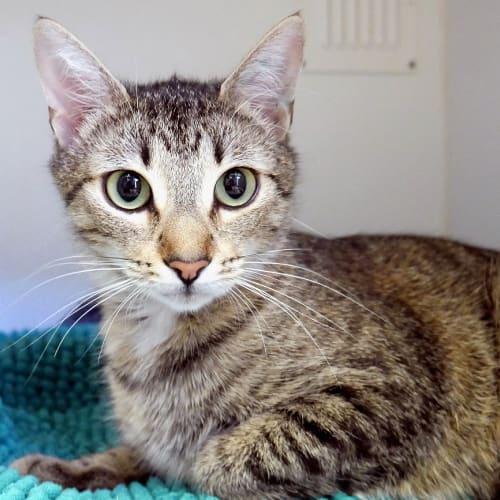 Tarsh SUA004354 - Domestic Short Hair Cat