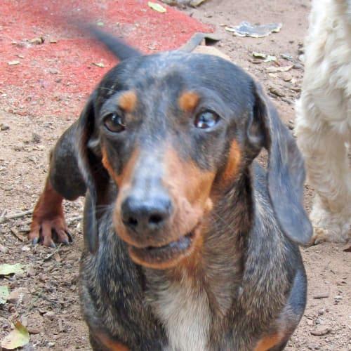 Cassie - Dachshund Dog