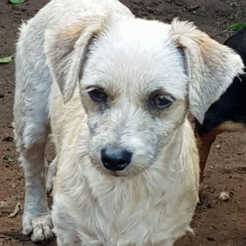 Soxie - Maltese Dog