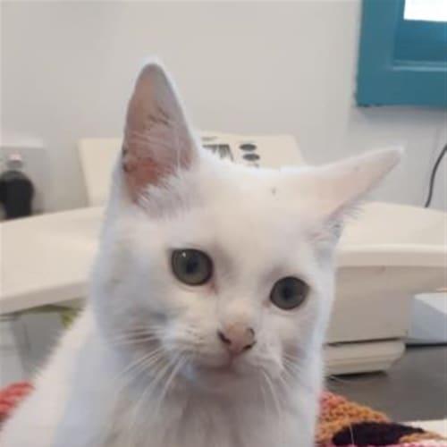 Kaimana - Domestic Short Hair Cat