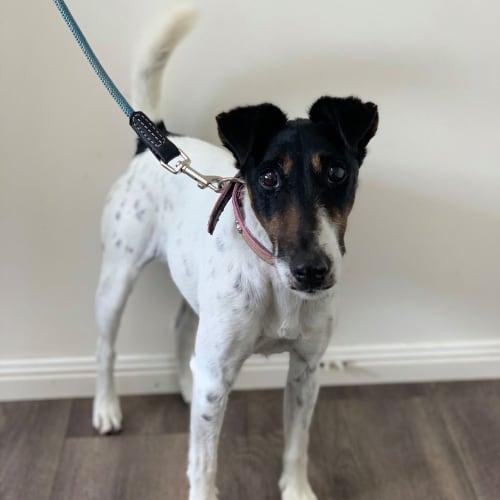 Pippy - Fox Terrier Dog