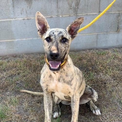 Walnut - Greyhound Dog