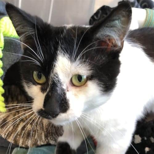 Parker - Domestic Short Hair Cat