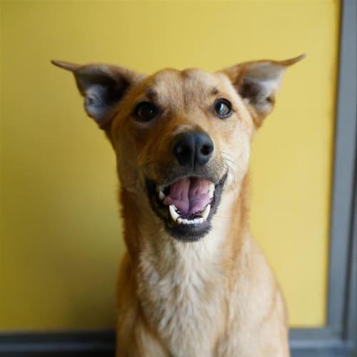 Basil - Kelpie Dog