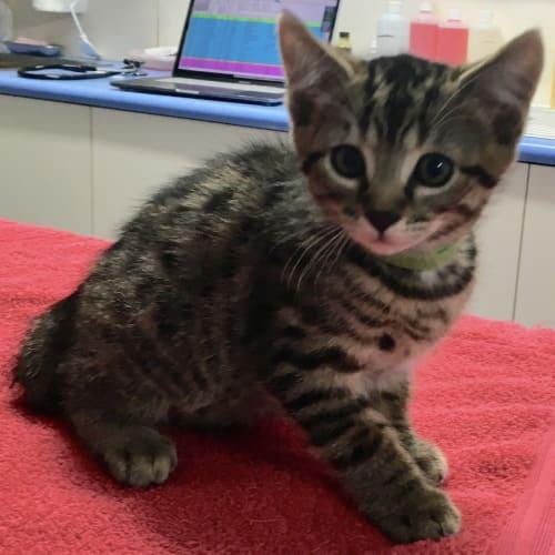 Buzz - Domestic Short Hair Cat