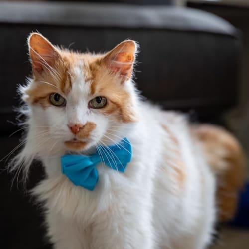 Jerry  - Domestic Medium Hair Cat
