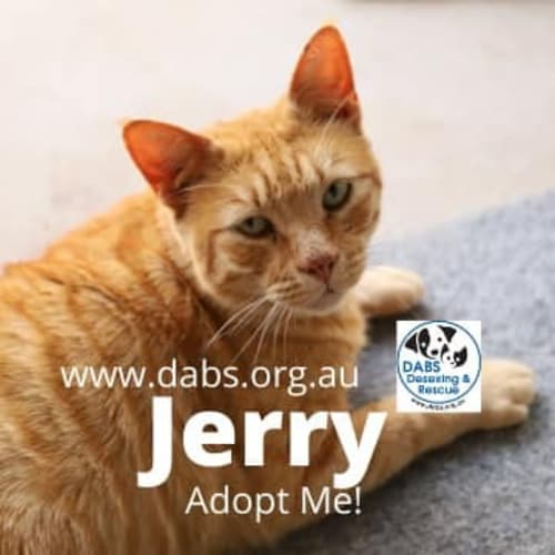 Jerry - Domestic Short Hair Cat