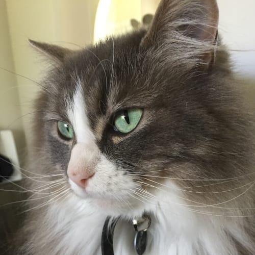 Mishka - Domestic Medium Hair Cat