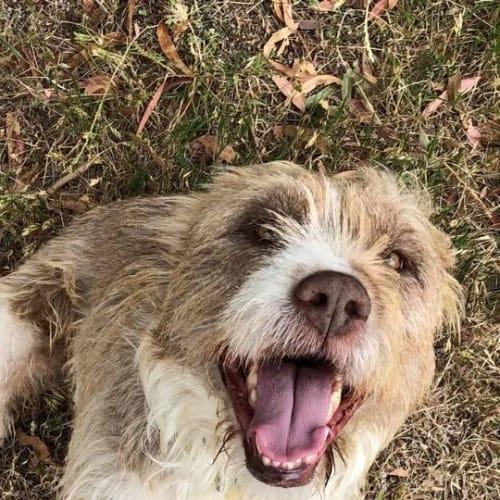Georgina ❤❤❤ - Irish Wolfhound Dog