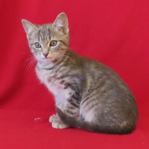 Luna - Domestic Short Hair Cat
