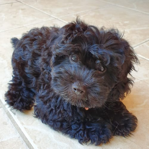 Chester - Cavalier King Charles Spaniel x Poodle Dog