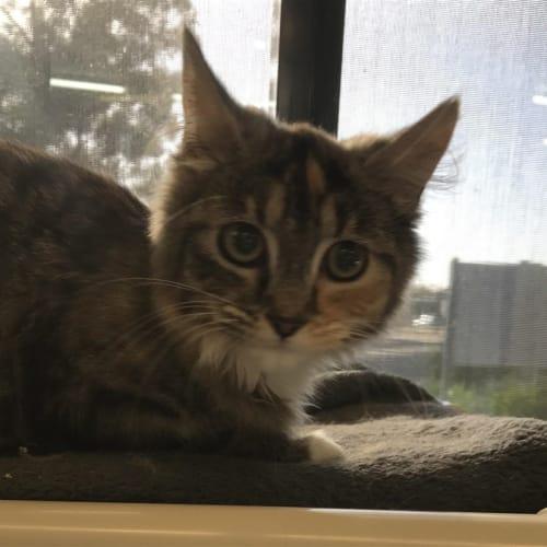 Carrie - Domestic Medium Hair Cat