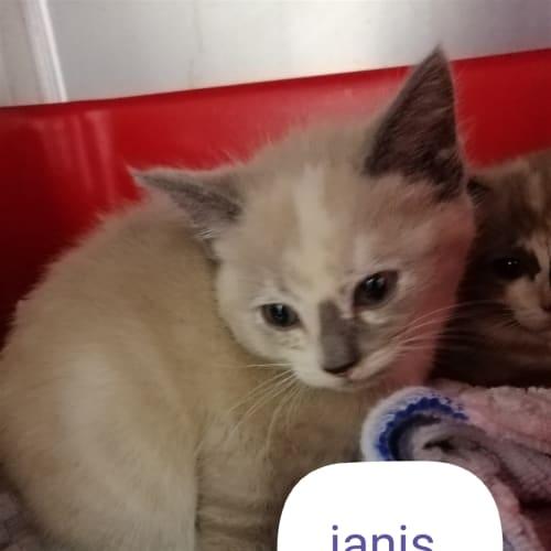 Janis - Ragdoll Cat