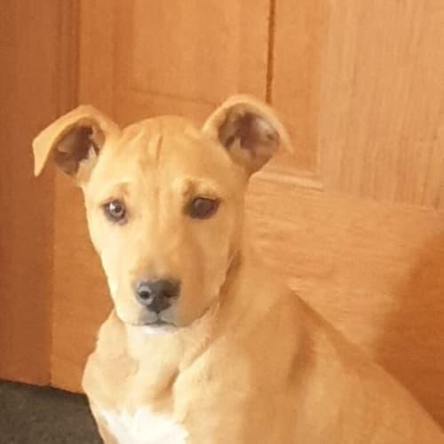 Missy - Kelpie Dog