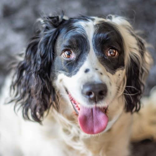 Rosie - English Springer Spaniel Dog