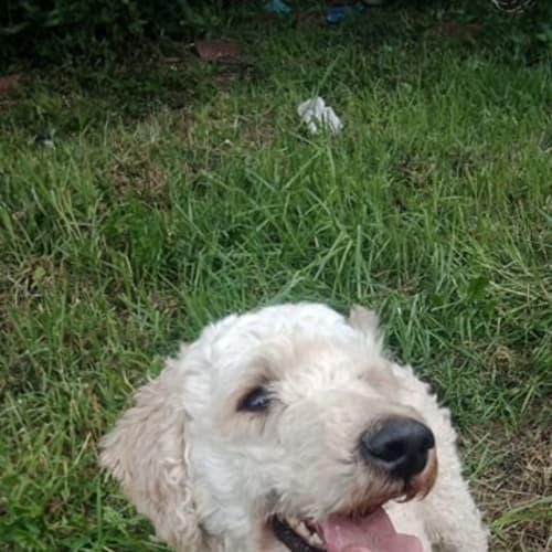 Lexie - Poodle Dog