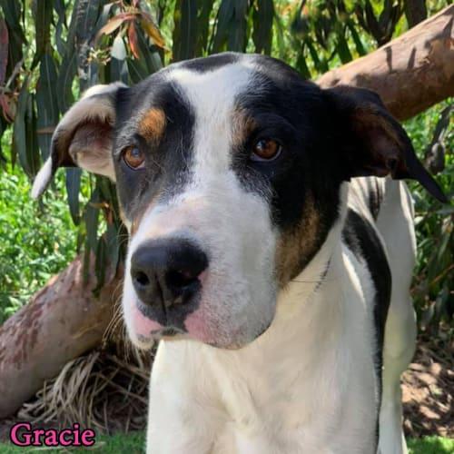 Gracie - Bull Arab Dog