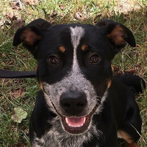 Brutus - Australian Cattledog